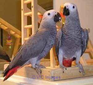 AVAILABLE MALE AND FEMALE AFRICAN GREYS FOR ADOPTION kitchener